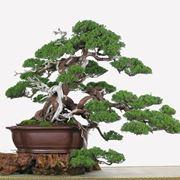 bonsai da interno