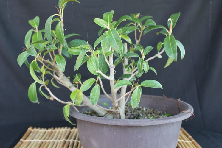 bonsai ficus ginseng cura bonsai coltivazione bonsai