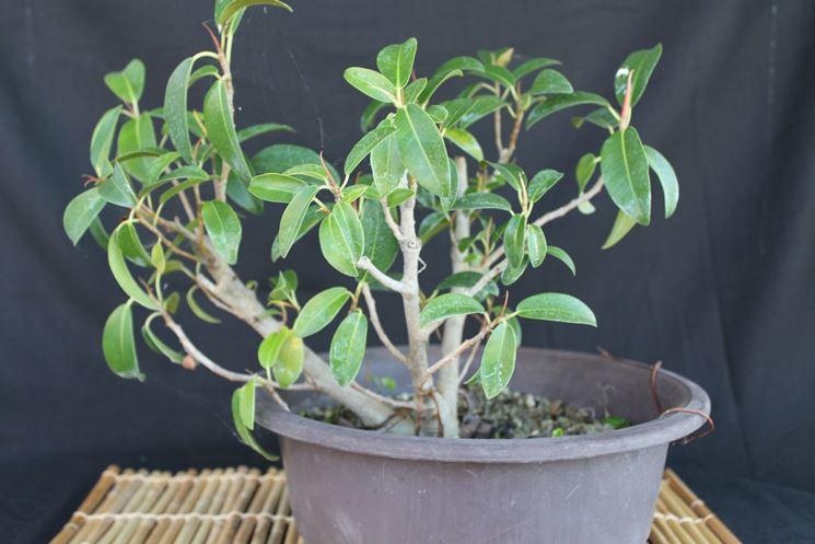 Bonsai Ficus Ginseng a foglie più larghe