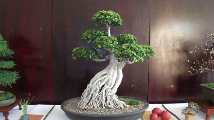 Straordinario Ficus Ginseng