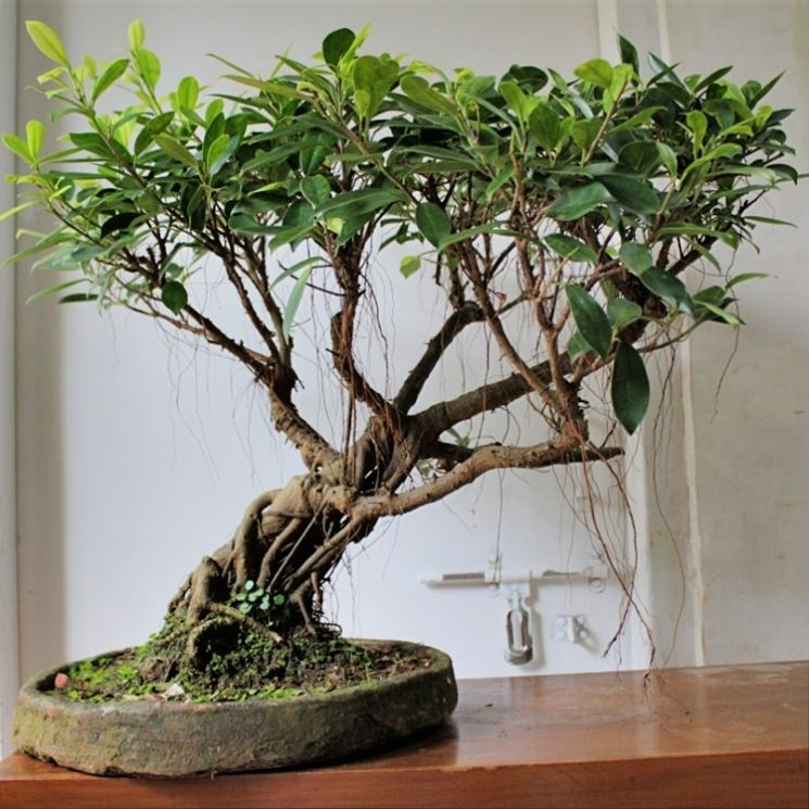 bonsai ficus ginseng cura bonsai coltivazione bonsai. Black Bedroom Furniture Sets. Home Design Ideas