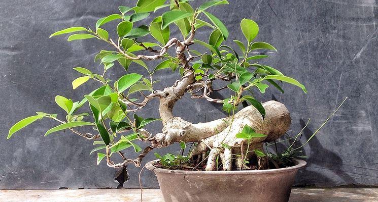 esempio di <em>ficus ginseng bonsai</em>