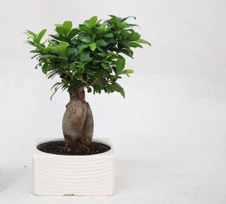 bonsai ficus ginseng bonsai bonsai ginseng coltivare bonsai ginseng. Black Bedroom Furniture Sets. Home Design Ideas