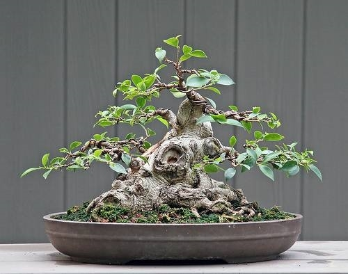 Bonsai ficus microcarpa - Bonsai