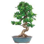 ficus retusa bonsai