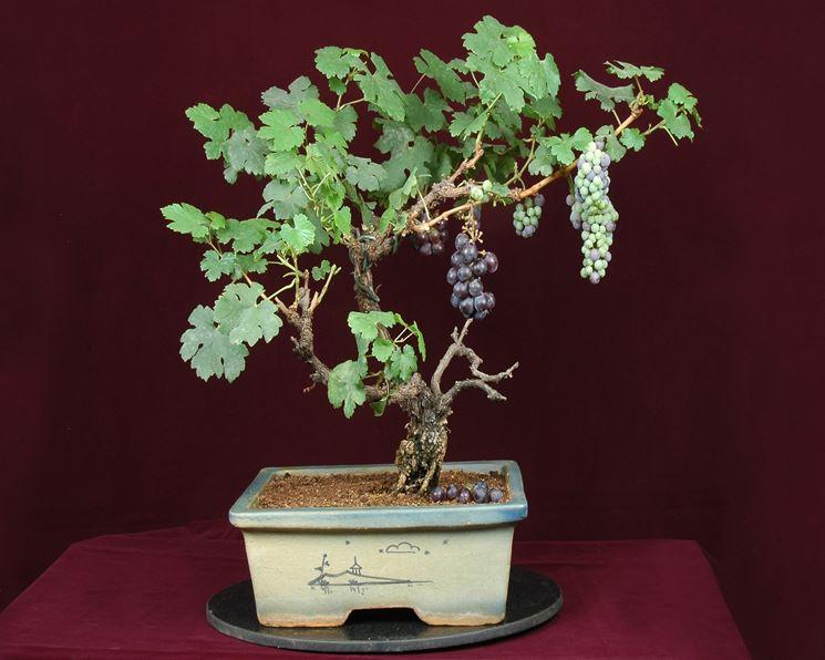 Il bonsai finto e la vite