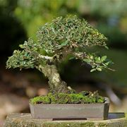 gelsomino bonsai