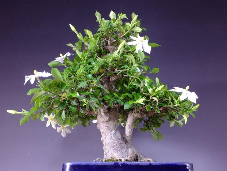 bonsai gelsomino