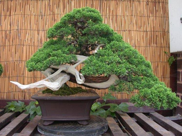 Bonsai ginepro - Bonsai