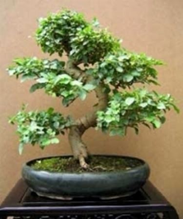 bonsai ligustrum fai da te