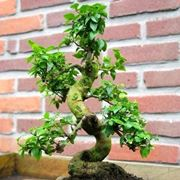 ligustrum bonsai
