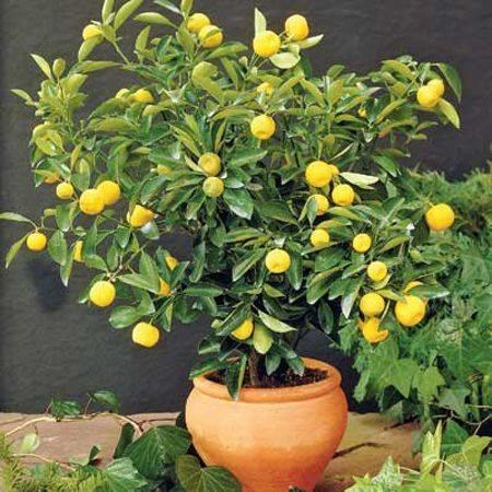 Bonsai limone - Bonsai