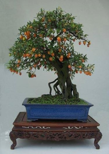 bonsai mandarino