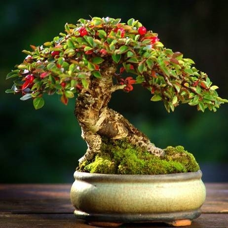 bonsai melograno bonsai