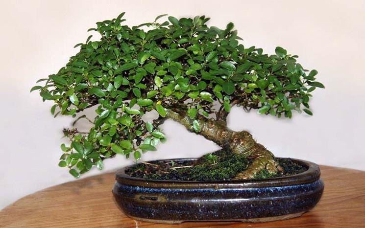 Esemplare di bonsai microcarpa