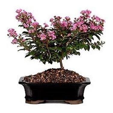 bonsai mirto