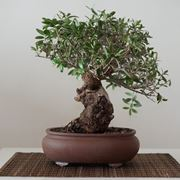 Bonsai glicine bonsai for Olivo bonsai prezzo