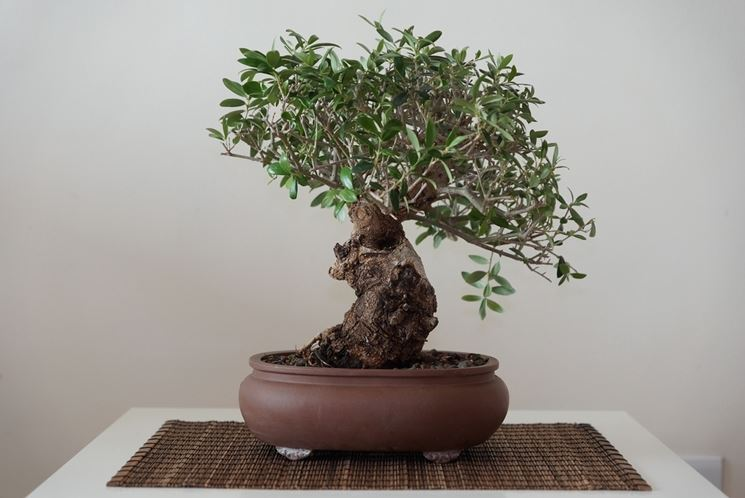 Bonsai olivo bonsai come curare un bonsai di olivo for Piante per bonsai