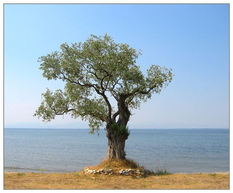 Bonsai olivo - Bonsai - Come curare un bonsai di olivo