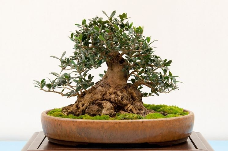 particolare esemplare di bonsai di ulivo