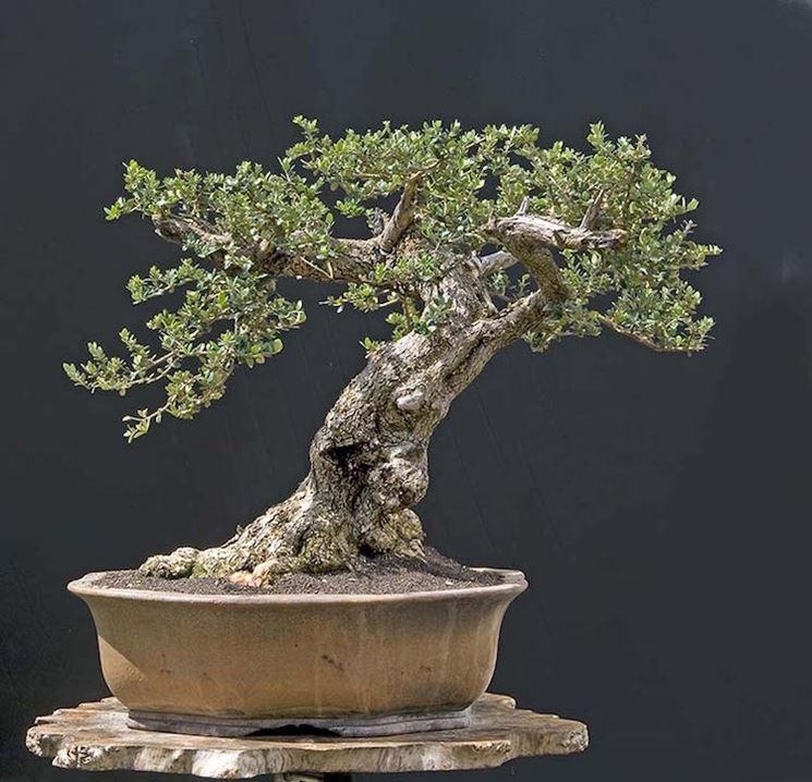 particolare bonsai olivo