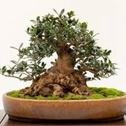 bonsai di ulivo