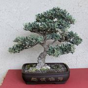 bonsai olivo bonsai come curare un bonsai di olivo