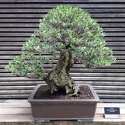 bonsai ulivo