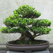bonsai eurya