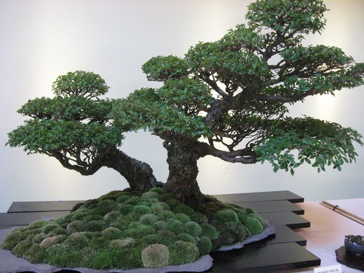 Bonsai perde foglie bonsai malattie del bonsai for Piante per bonsai