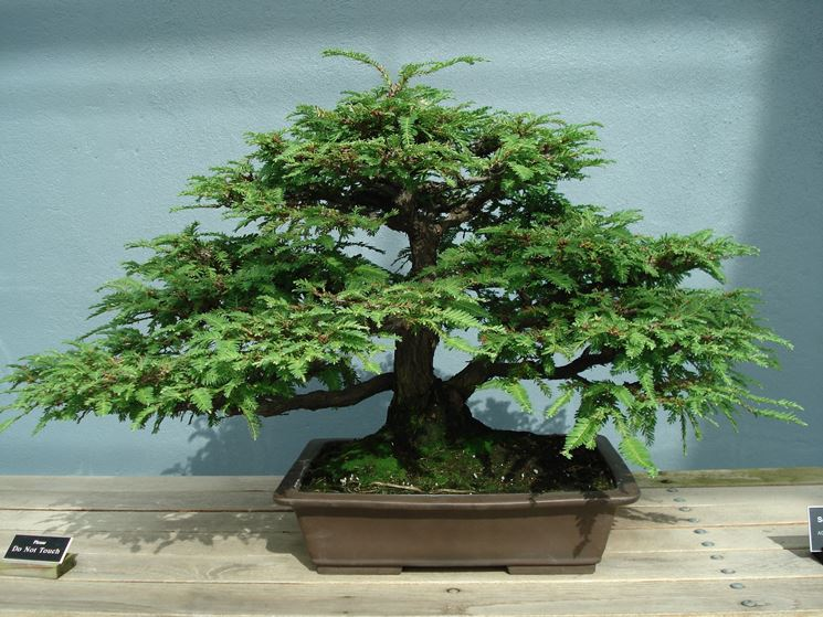 bonsai sequoia