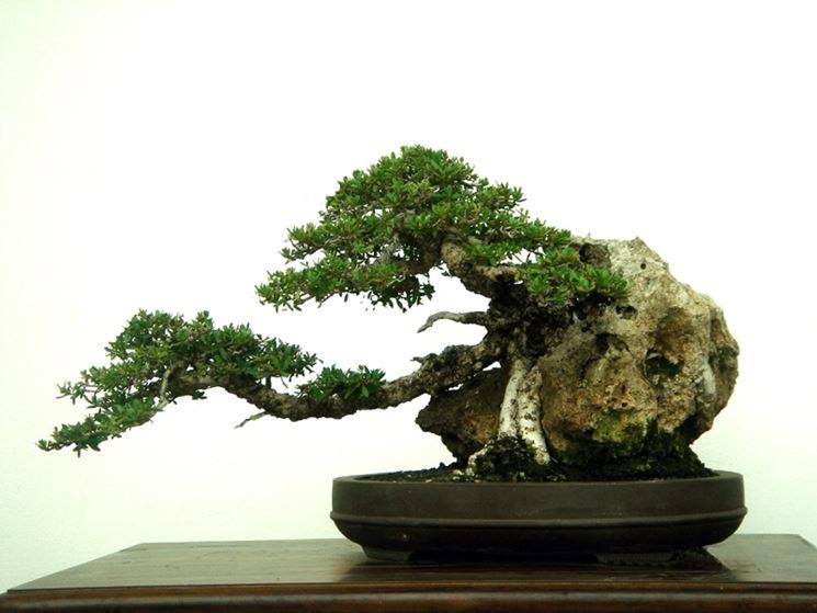 cura e rinvaso bonsai