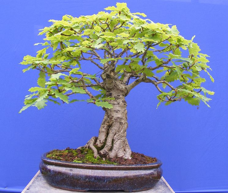bonsai di quercia