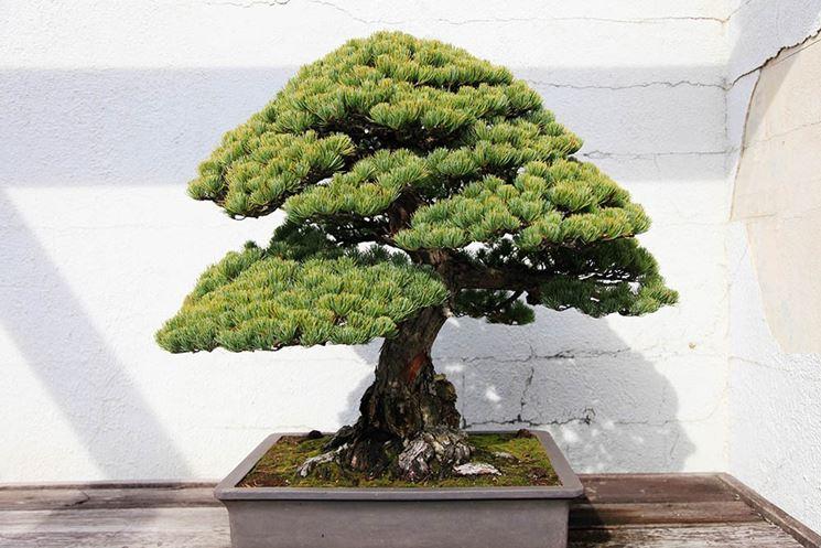 bonsai abiens alba quercus