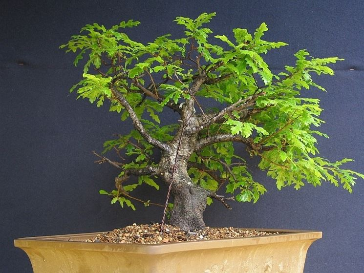 bonsai quercus pubescens
