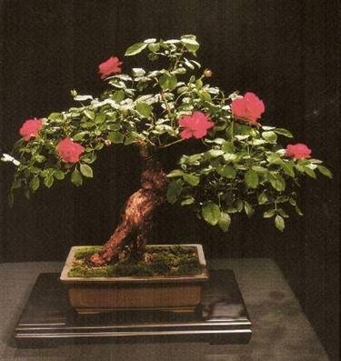 Bonsai di rose