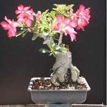 bonsai di rosa