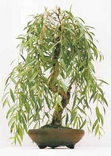 bonsai <em>salice piangente</em>