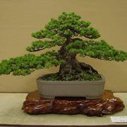 Bonsai olivo bonsai come curare un bonsai di olivo - Cura dei bonsai in casa ...