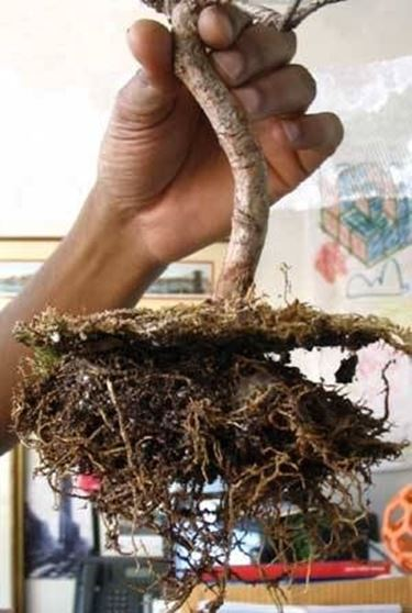 fertilizzare i bonsai