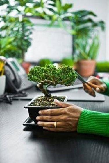 taglio poglie bonsai