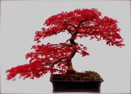 Cura bonsai bonsai
