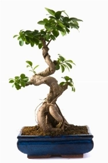 ficus bonsai bonsai ficus bonsai caratteristiche