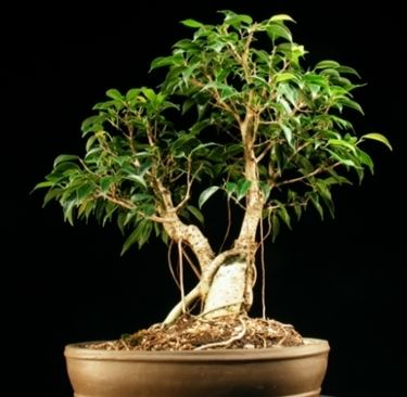 piantina ficus bonsai