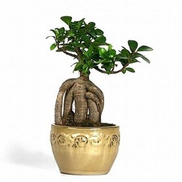 radici ficus bonsai