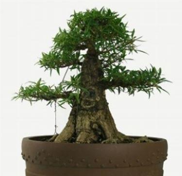 esemplare particolare di ficus bonsai