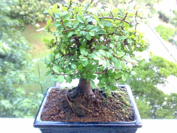Terriccio per bonsai bonsai for Piante per bonsai