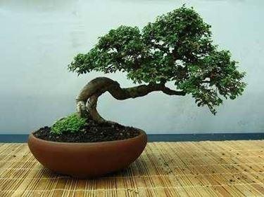 vaso bonsai