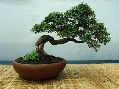 Vasi per bonsai bonsai for Bonsai vasi