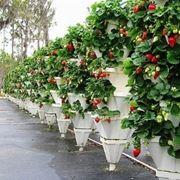 coltivazione di fragole